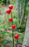 May lily Berrys Stock Photo