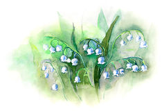 May lily flowers. Painting on white Stock Photo