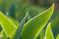 May lily wide leaves Stock Image
