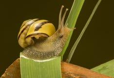 Mały ślimaczek na trawa trzonie Fotografia Royalty Free