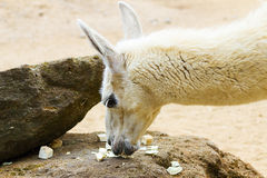 05 May 2013 - London Zoo - Llama lama in zoo outdoors Stock Image