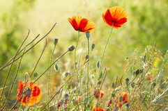 The May meadow, poppies. And cornflowers Stock Photos