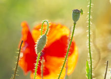 The May meadow, poppies. And cornflowers Royalty Free Stock Photography