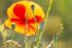 The May meadow, poppies. And cornflowers Royalty Free Stock Photos