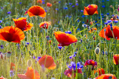 The May meadow, poppies and cornflowers Royalty Free Stock Photography