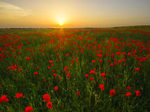 The May meadow, poppies and cornflowers Stock Photos