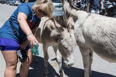 OATMAN, ARIZONA: Woman tourist tries to take a selfie with wild burro on the streets of Oatman Arizona, along Route 66