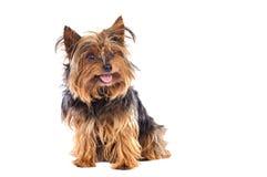 mały pies Obrazy Royalty Free