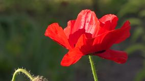 May poppies in the meadow.Lonely poppy.A bright red poppy, attracts bees. Attractive, bright, red color.In the garden blossom poppies.A delicate flower. The stock video