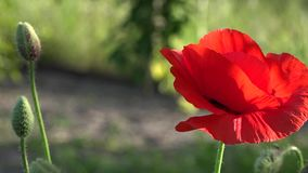 May poppies in the meadow.Lonely poppy.A bright red poppy, attracts bees. Attractive, bright, red color.In the garden blossom poppies.A delicate flower. The stock video footage