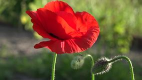 May poppies in the meadow.Lonely poppy.A bright red poppy, attracts bees. Attractive, bright, red color.In the garden blossom poppies.A delicate flower. The stock footage