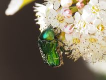 May shiny beetle on white flower. royalty free stock photography