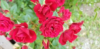 May showers. Rose, red, spring stock images