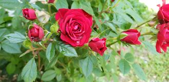 May showers spring roses. May showers spring. Rose, red, spring stock photography