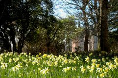Brodie Castle and daffodils Royalty Free Stock Photos