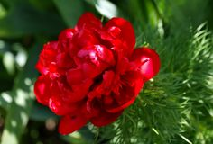 May sun made the peony uncover the luxurious red petals. The afternoon May sun made the peony uncover the luxurious red petals Stock Photography
