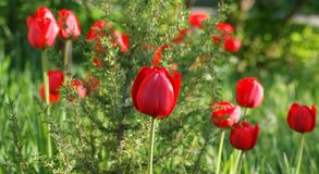 May is the time of flowering of tulips. Rich colors and perfect flower shape stock photos
