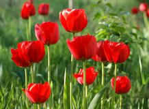 May is the time of flowering of tulips. Rich colors and perfect flower shape royalty free stock images