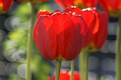 May is the time of flowering of tulips. Rich colors and perfect flower shape stock images
