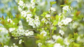 May the white flowers on the tree stock footage