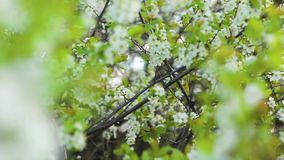 May the white flowers on the tree stock video footage
