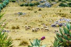 Maya nomad with sheep herd by Todos Santos Cuchumatan in Guatemala. View on maya nomad with sheep herd by Todos Santos Cuchumatan in Guatemala Stock Image