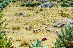 Maya nomade met schapenkudde door Todos Santos Cuchumatan in Guatemala stock afbeelding