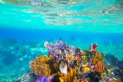 Mayan Riviera reef snorkel underwater. Mayan Riviera coral reef snorkeling underwater in colorful paradise Royalty Free Stock Images