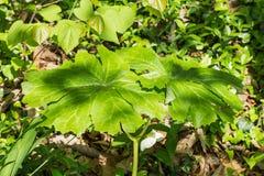 Mayapple †'Podophyllum peltatum Obraz Royalty Free