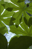 Mayapple, Bugs-Eye View, Early Spring Royalty Free Stock Photo