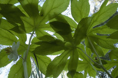 Mayapple, Bugs-Eye View, Early Spring. Mayapple, Bugs-Eye View, Looking Towards Sky, Early Spring stock image