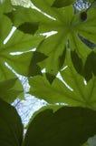 Mayapple, insect-Oog Mening, de Vroege Lente Royalty-vrije Stock Foto