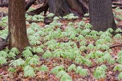 Mayapple Plants Royalty Free Stock Images