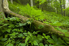 Mayapple, Spring, Whiteoak Sink, Great Smoky Mtns. Mayapple, Spring, Whiteoak Sink, Great Smoky Mountains National Park, TN, USA stock images
