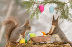 Maybe some more. Close up of red squirrels with a wheelbarrow and eggs Stock Image
