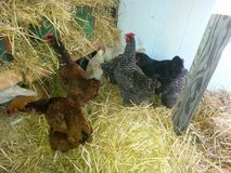 Henhouse. Maybelle, Louise, Bertha, Claudia, etc... Foraging in the henhouse. Straw, shelter, what a life. Our chickens are thriving Royalty Free Stock Images