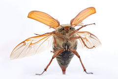 maybug щупел Стоковая Фотография