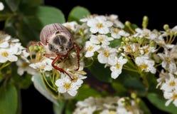 Maybug beetle on Maythorn inflorescence Stock Photography