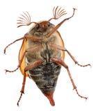 Maybug belly. Maybug beetle crawling on a glass pane Royalty Free Stock Photo