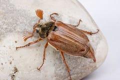 Maybug on boulder. Beautiful maybug beetle on a large grey boulder Stock Images