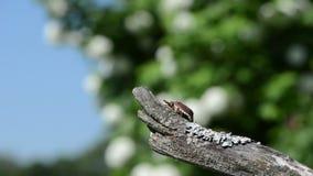 Maybug branch stock video