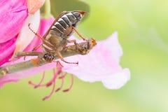 Maybug climbing on flower twig Royalty Free Stock Photos