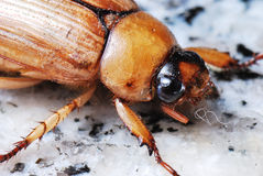 European Chafer June Bug Stock Photography