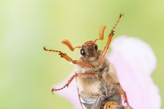 Maybug in closeup. Maybug or cockchafer sitting on a pink flower in springtime Royalty Free Stock Images