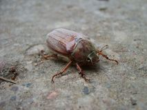 Maybug or cockchafer sitting on a ground Royalty Free Stock Image