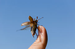 Maybug crawl human finger tip  antennas Royalty Free Stock Image