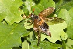 Maybug flying royalty free stock image