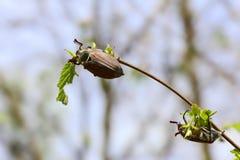 Maybug mange des feuilles Image stock