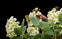 Maybug and Maythorn Royalty Free Stock Photography
