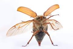 Maybug Messplättchen Stockfotografie
